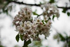 Ένας όμορφος κλάδος ενός ανθίζοντας δέντρου αχλαδιών Στοκ εικόνα με δικαίωμα ελεύθερης χρήσης