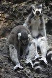 Ένας όμορφος μικρός κερκοπίθηκος Στοκ εικόνες με δικαίωμα ελεύθερης χρήσης