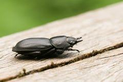 Ένας όμορφος μικρότερο parallelipipedus Dorcus κανθάρων αρσενικών ελαφιών perchng σε μια σύνδεση μια δασώδης περιοχή Στοκ φωτογραφίες με δικαίωμα ελεύθερης χρήσης