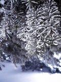 ένας όμορφος χιονισμένος κλάδος των ερυθρελατών, ένα νέο δέντρο έτους Στοκ Εικόνα