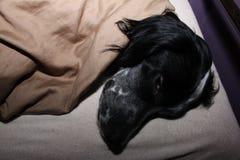 Ένας ύπνος σκυλιών σε ένα κρεβάτι Στοκ Εικόνα