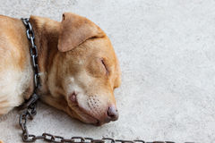Ένας ύπνος σκυλιών στο πάτωμα με την αλυσίδα Στοκ Φωτογραφίες