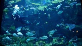 Ένας δύτης καθαρίζει το τεράστιο ενυδρείο μέρος ψαριών απόθεμα βίντεο