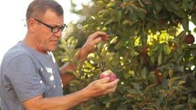 Ένας ώριμος αγρότης ελέγχει τη συγκομιδή των μήλων στον κήπο του Το άτομο επιλέγει τα ώριμα κόκκινα μήλα απόθεμα βίντεο