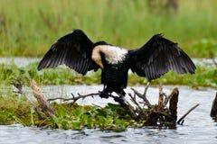 Ένας cormarant τεντώνοντας τα φτερά στοκ φωτογραφίες με δικαίωμα ελεύθερης χρήσης