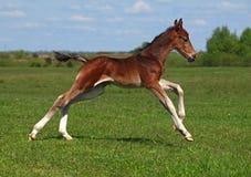 Ένας foal καλπασμός Στοκ Εικόνα