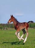 Ένας foal καλπασμός Στοκ εικόνα με δικαίωμα ελεύθερης χρήσης