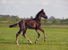 Ένας foal σκοτεινός-κόλπων καλπασμός Στοκ Φωτογραφίες