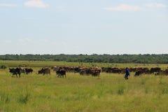 Ένας herdsman και τα βοοειδή του Στοκ Εικόνες