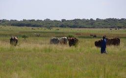 Ένας herdsman και τα βοοειδή του Στοκ φωτογραφία με δικαίωμα ελεύθερης χρήσης