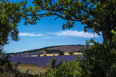 Ένας Lavender τομέας που πλαισιώνεται από τα δρύινα δέντρα Στοκ Φωτογραφία