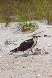 Osprey που τρώει το μεσημεριανό γεύμα στην παραλία στοκ φωτογραφία με δικαίωμα ελεύθερης χρήσης