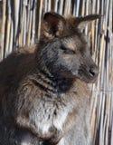 Ένας wallaby στοκ εικόνες