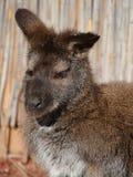 Ένας wallaby στοκ εικόνα με δικαίωμα ελεύθερης χρήσης