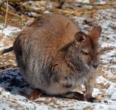 Ένας wallaby στοκ εικόνα
