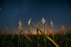 Έναστρος ουρανός νύχτας επάνω από την πράσινη φυτεία τομέων καλαμποκιού αραβόσιτου το καλοκαίρι Στοκ εικόνες με δικαίωμα ελεύθερης χρήσης