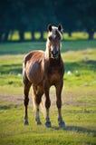 Ένα άγριο άλογο Στοκ Φωτογραφίες