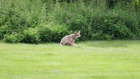 Ένα άγριο κυνήγι κογιότ για το θήραμα στις δασώδεις περιοχές κατά τη διάρκεια του καλοκαιριού Στοκ Εικόνες