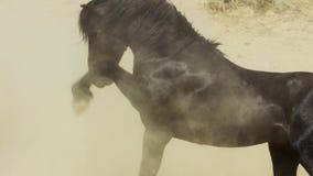 Ένα άγριο μάστανγκ κόλπων του άγριου κοπαδιού αλόγων Onaquai Στεμένος στωικά έρημος της Νεβάδας, Ηνωμένες Πολιτείες στοκ εικόνα