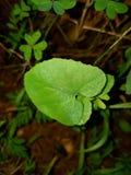 Ένα άγριο πράσινο φύλλο Στοκ εικόνα με δικαίωμα ελεύθερης χρήσης