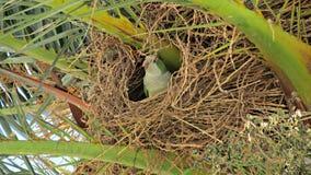 Ένα άγριο πράσινο parakeet Στοκ Εικόνα