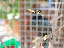 Ένα άγριο Hill Mynah πουλιών που παγιδεύεται σε ένα κλουβί που συμβολίζει την απόγνωση και που χάνει την ελευθερία στη ζωή στοκ εικόνες