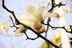 Ένα άλλο λουλούδι της άνοιξη στην Κίνα ΙΙ Στοκ Φωτογραφία
