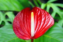 ένα άλλο anthurium κόκκινο Στοκ Φωτογραφίες