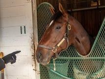 Ένα άλογο αγώνων σε Churchill κατεβάζει στοκ εικόνες με δικαίωμα ελεύθερης χρήσης
