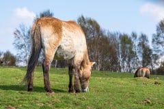 Ένα άλογο Przewalski ` s βόσκει σε μια ευγενή κλίση κάτω από τους μπλε ουρανούς στοκ φωτογραφία