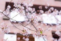 Ένα άνθος ή ένα Sakura κερασιών στην Ιαπωνία Το ανθίζοντας λουλούδι αντιπροσωπεύει την άνοιξη και είναι επίσης ένα από το ιαπωνικ Στοκ Εικόνα