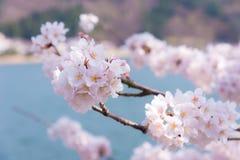 Ένα άνθος κερασιών στην Ιαπωνία κάλεσε Sakura ανθίζοντας στον κλάδο του την άνοιξη Στοκ φωτογραφία με δικαίωμα ελεύθερης χρήσης