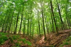 Ένα δάσος δέντρων οξιών Στοκ εικόνες με δικαίωμα ελεύθερης χρήσης