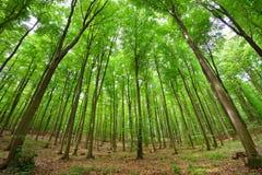 Ένα δάσος δέντρων οξιών Στοκ Φωτογραφίες