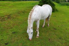 Ένα άσπρο άλογο που βόσκει σε έναν πράσινο τομέα στοκ φωτογραφία