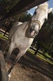 Ένα άσπρο άλογο στη μάντρα Στοκ Εικόνα