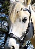 Ένα άσπρο άλογο Στοκ Εικόνες