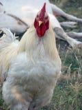 Ένα άσπρο κοτόπουλο ψάχνει ένα σκουλήκι Στοκ Φωτογραφίες