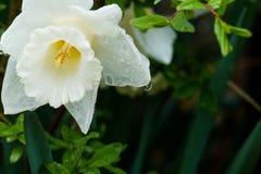 Ένα άσπρο λουλούδι άνοιξη με τη βροχή ρίχνει το στάλαγμα στοκ φωτογραφία