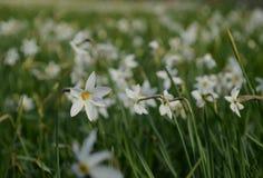 Ένα άσπρο λουλούδι daffodil με μια κίτρινος-κόκκινη καρδιά ανθίζει στα πλαίσια ενός άσπρου τομέα daffodils στην Ουκρανία στοκ φωτογραφία