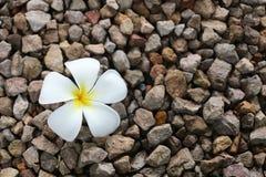 Ένα άσπρο λουλούδι plumeria στοκ φωτογραφία