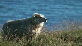 Ένα άσπρο μεγάλο πρόβατο στέκεται στα πλαίσια του νερού στον τομέα Andreev απόθεμα βίντεο