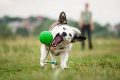 Ένα άσπρο μικτό σκυλί φυλής προσπαθεί να προφθάσει μια πράσινη σφαίρα Στοκ φωτογραφία με δικαίωμα ελεύθερης χρήσης