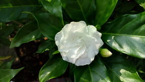 Ένα άσπρο λουλούδι με τον οφθαλμό Στοκ εικόνα με δικαίωμα ελεύθερης χρήσης