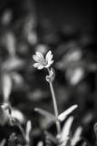 Ένα άσπρο λουλούδι σε ένα σκοτεινό υπόβαθρο Γραπτή φωτογραφία του Πεκίνου, Κίνα Στοκ Εικόνες