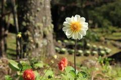 Ένα άσπρο λουλούδι στον κήπο Στοκ Εικόνες
