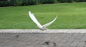 Ένα άσπρο πέταγμα έναρξης πουλιών Στοκ φωτογραφία με δικαίωμα ελεύθερης χρήσης