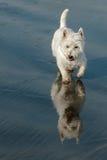 Ένα άσπρο σκυλί στην παραλία Στοκ φωτογραφία με δικαίωμα ελεύθερης χρήσης