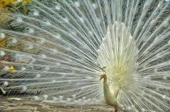 Ένα άσπρο peacock στην επίδειξη στοκ εικόνες με δικαίωμα ελεύθερης χρήσης