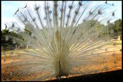 Ένα άσπρο Peacock Στοκ Εικόνες